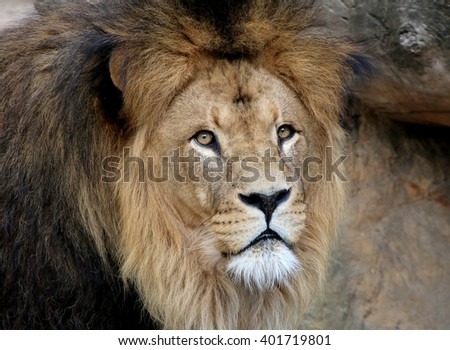 Portrait close-up of a mature Male African Lion (Panthera leo)