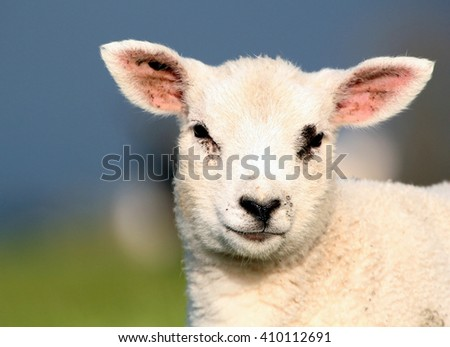 Portrait close-up of a young Lamb in a spring meadow facing the camera.