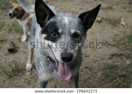 Portrait close up of blue cattle dog with jack russell dog in the background.. - stock photo
