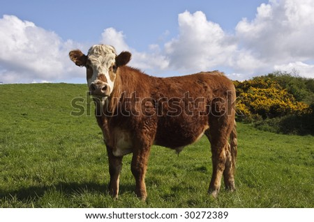 portrait close up of cow in green farm field - stock photo