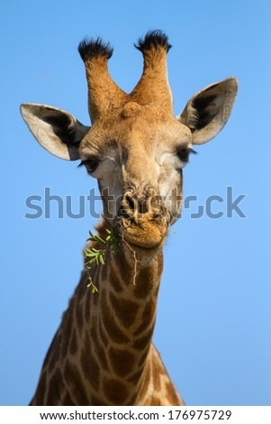 Portrait close-up of giraffe head against a blue sky chew and eating - stock photo