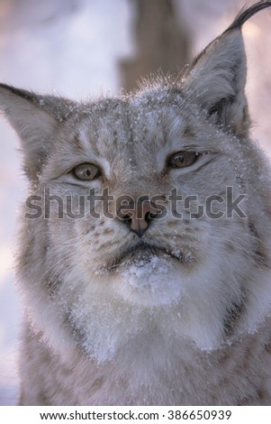 Portrait/ close up of the face of a lynx wintertime in Norway. A Lynx lynx, Eurasian lynx/cat lynx with spots. - stock photo