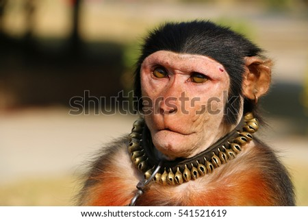 Portrait Closeup of a Domestic Monkey