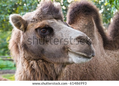 Portrait closeup of furry brown camel in zoo