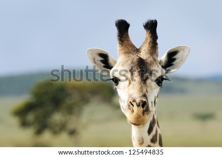 Portrait closeup of Giraffe - stock photo