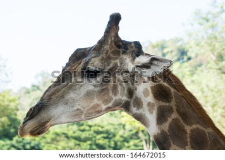 Portrait closeup of Giraffe in the zoo of Thailand - stock photo