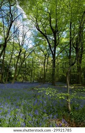 Portrait composition of a Bluebell wood in the British Countryside. The wide angle view takes in the surrounding trees