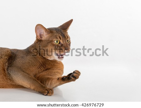 Portrait Curious Abyssinian cat lying on ground. Angry and threaten. White background with reflection. - stock photo