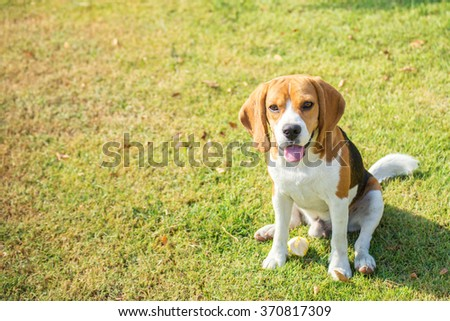 Portrait cute beagle puppy dog looking up in grass field - stock photo
