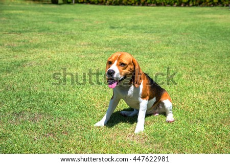 Portrait cute beagle puppy dog looking up in green grass field - stock photo