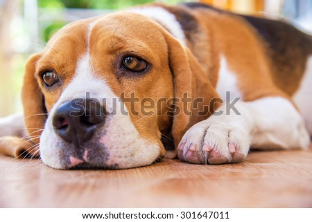 Portrait cute beagle puppy dog lying down to the floor with feel lonely - stock photo