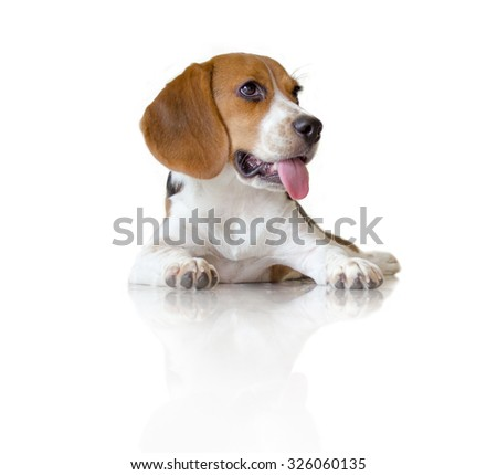 Portrait cute beagle puppy dog on white background - stock photo
