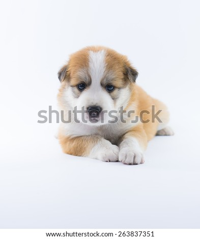 Portrait dog puppy isolate on over white background