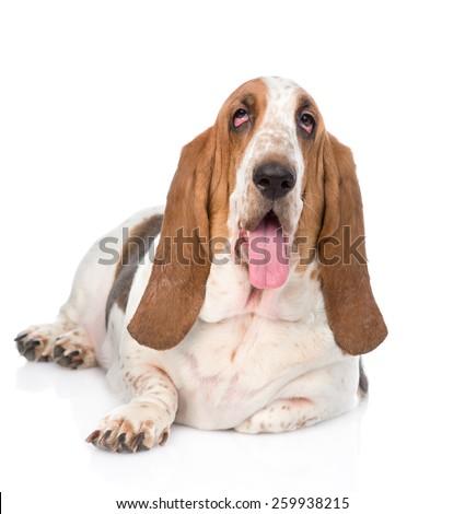 Portrait fat basset hound dog. isolated on white background - stock photo