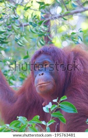 Portrait female Orangutan in tree - stock photo