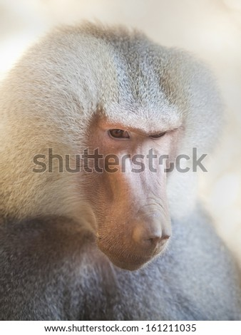 Portrait fo african baboon monkey - stock photo