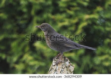 Portrait from a Blackbird female - stock photo