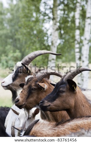 portrait from three goats - stock photo