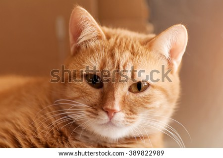 portrait ginger cat closeup  - stock photo