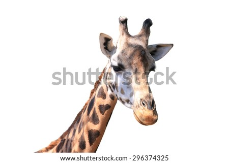 portrait giraffe isolated on white background - stock photo