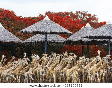portrait giraffes - stock photo