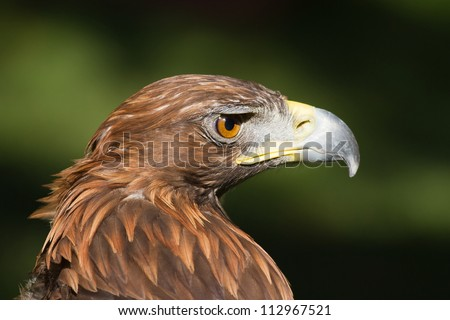 portrait golden eagle close up - stock photo