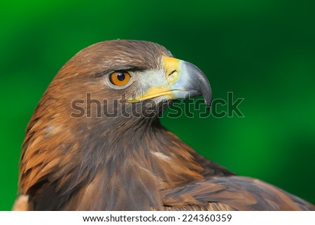 portrait golden eagle with green background - stock photo