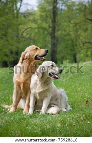Portrait Golden retriever puppy in park - stock photo