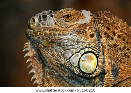 Portrait green iguana - (Iguana iguana) - stock photo