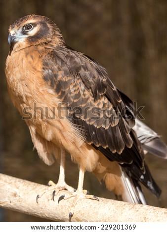 Portrait hawk on nature - stock photo