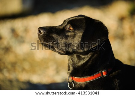 Portrait head shot of Black Labrador Retriever with red collar against bluffs - stock photo