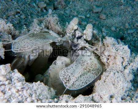Portrait if the mantis shrimp, coming out of the hole in the sandy bottom. Yap, Micronesia. The huge rays easy to identified. - stock photo