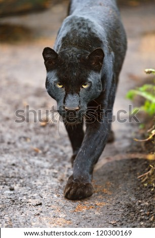 Portrait Leopard - stock photo