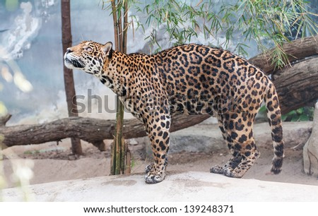 Portrait leopard predator in the zoo of Thailand - stock photo