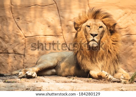Portrait lion looking something in the outside - stock photo