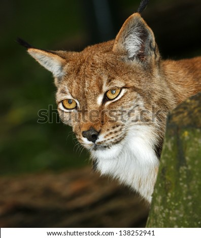 portrait lynx - stock photo