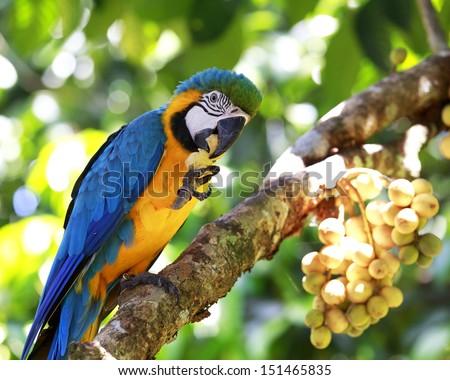 Portrait macaw eating fruit on tree  - stock photo