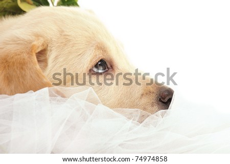 Portrait of a adorable labrador puppy, laying on drapery at home. Copyspace for your text and logo. Insurance concept - stock photo