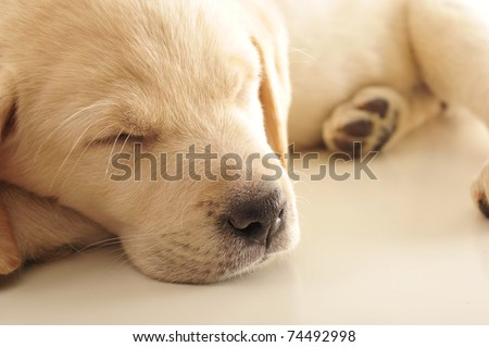 Portrait of a adorable labrador puppy, laying on sofa at home. Copyspace for your text and logo. Insurance concept - stock photo