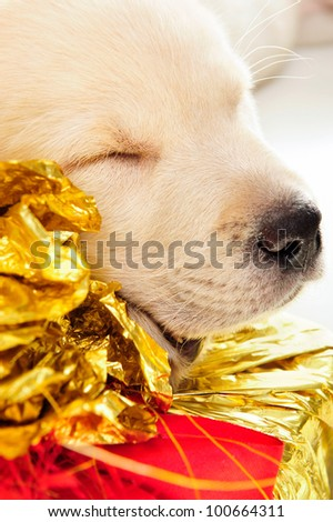 Portrait of a adorable labrador puppy, laying on white table. - stock photo