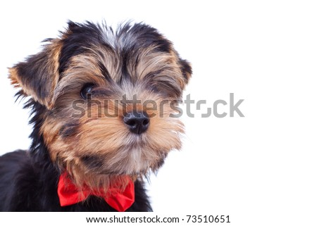portrait of a adorable yorkshire puppy with red bow