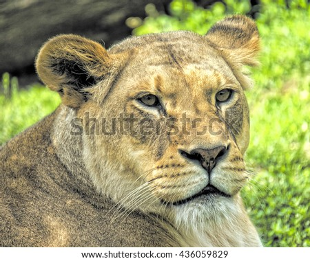 Portrait of a African Lion