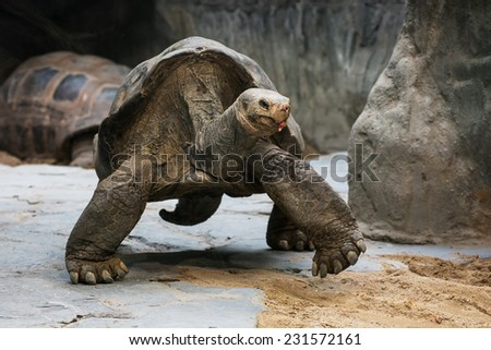 Portrait of a Aldabra giant tortoise (Aldabrachelys gigantea). Animal theme. - stock photo