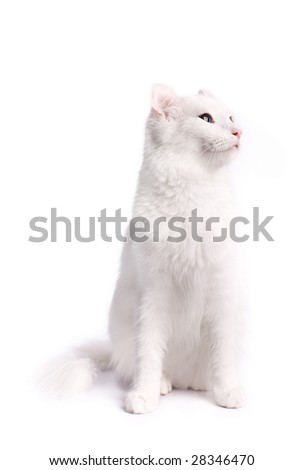 Portrait of a american curl cat on a white background. Studio shot.