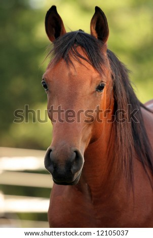 Portrait of a Arabian Filly - stock photo