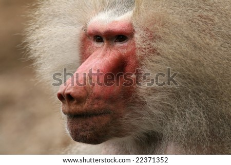 Portrait of a baboon - stock photo