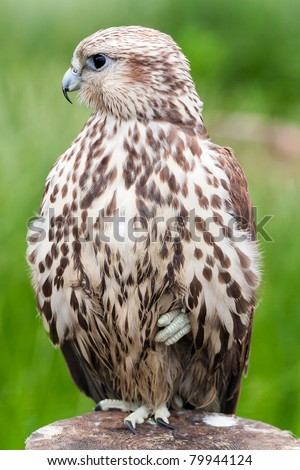 Portrait of a baby bird (Saker Falcon) of a bird on a tree.The feathery looks aside. - stock photo