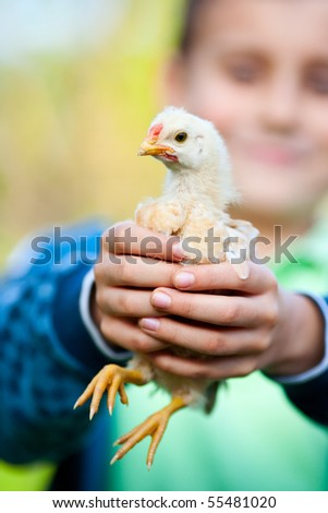 Portrait of a baby chick being held by a boy - stock photo