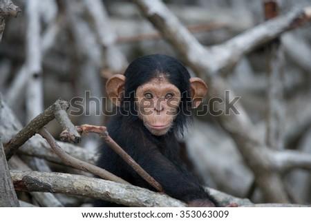 Portrait of a baby chimpanzee. Republic of the Congo. Reserve Conkouati-Douli. An excellent illustration. - stock photo