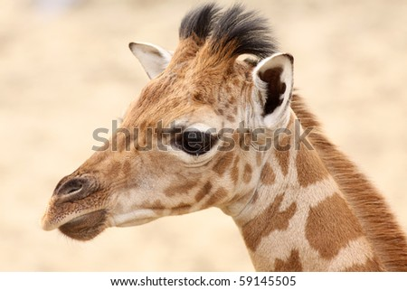 Portrait of a baby giraffe - stock photo